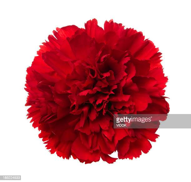 carnation. - carnation flower stock pictures, royalty-free photos & images