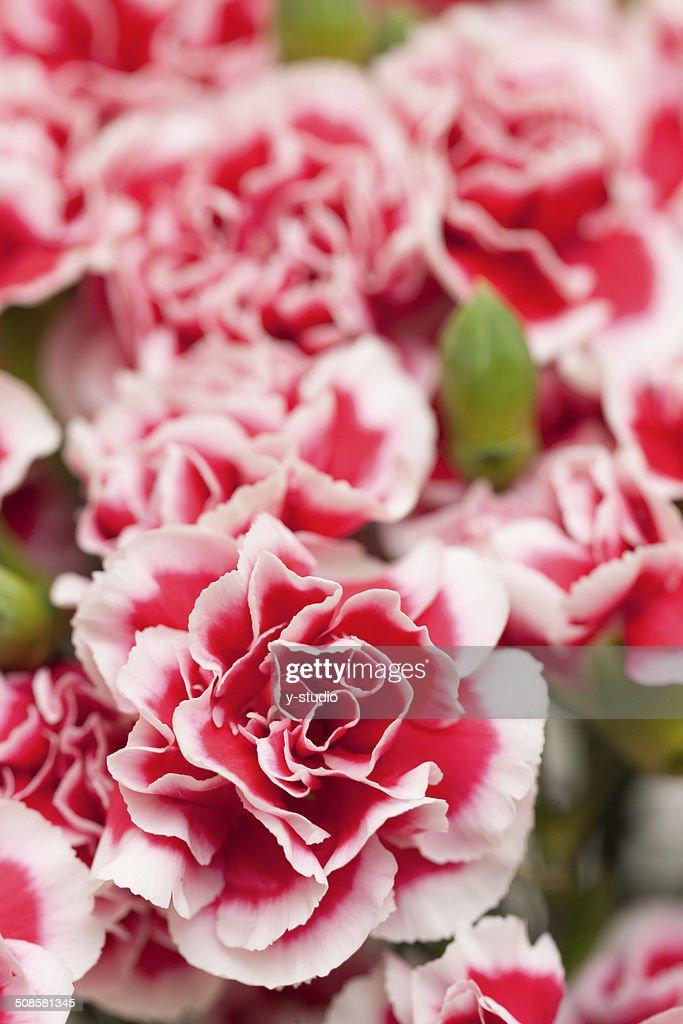 Carnation : Stockfoto