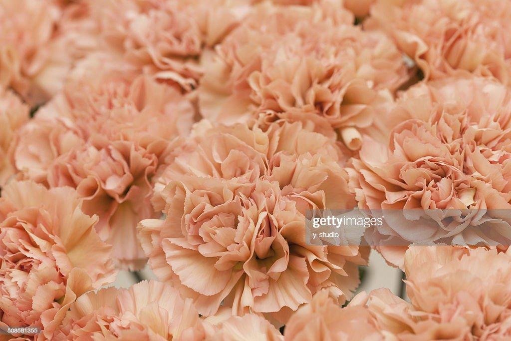 Carnation : Bildbanksbilder