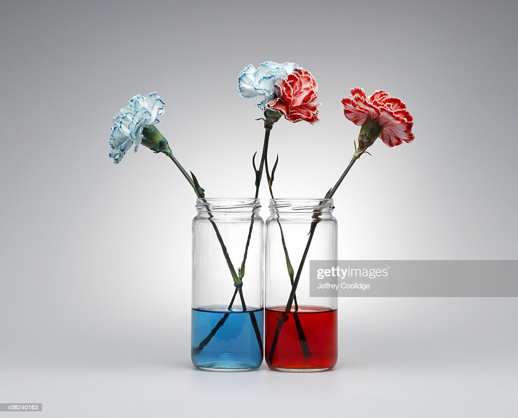 Carnations Blue and Red : Stock Photo