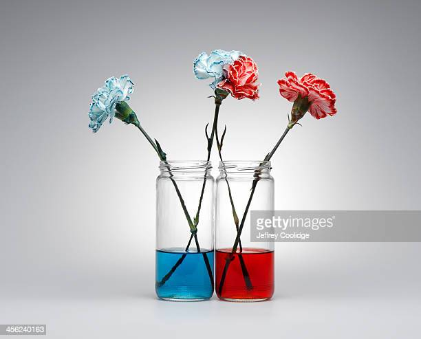 Carnations Blue and Red
