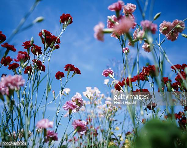 carnations growing in field, close-up - carnation flower stock pictures, royalty-free photos & images