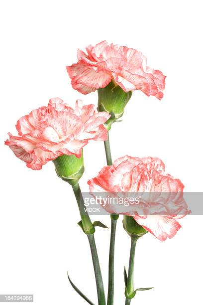 carnations. - carnation flower stock pictures, royalty-free photos & images