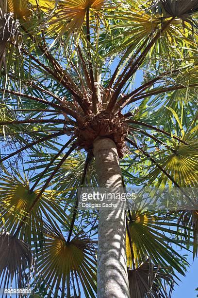 Carnauba palm tree in the rain forest  (copernicia-prunifera)