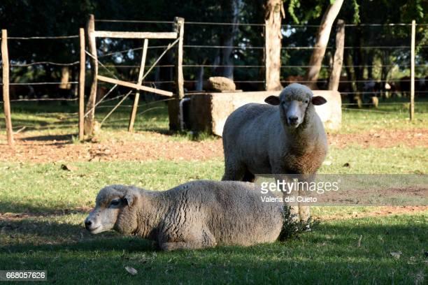carneiros na sobra, ao fundo o bebedouro - sem fim... valéria del cueto stock pictures, royalty-free photos & images