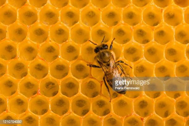 Carniolan honey bee crawling on a honeycomb.