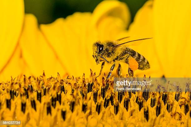 Carniolan honey bee is collecting nectar at a common sunflower blossom