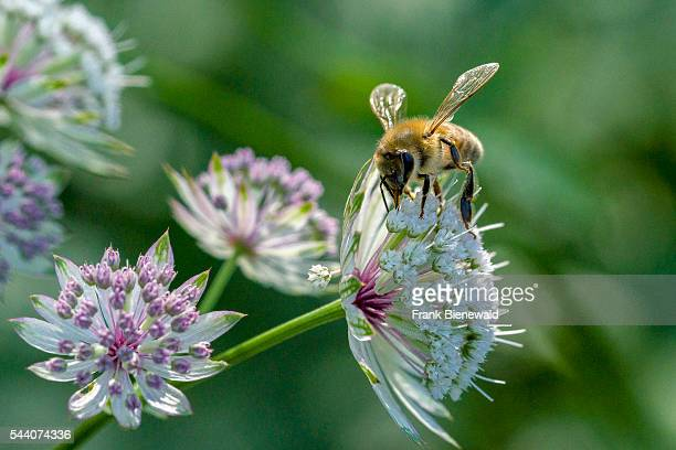 Carniolan honey bee is collecting nectar at a Great Masterwort blossom