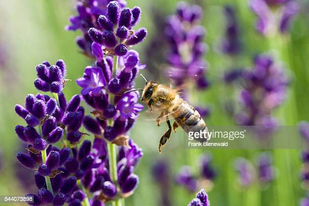 Carniolan honey bee is collecting nectar at a purple Lavender blossom.