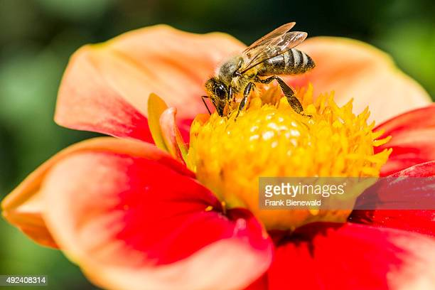 Carniolan honey bee is collecting nectar from a Dahlia blossom
