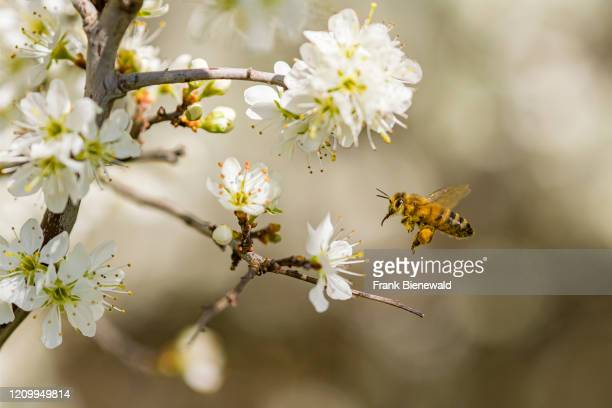 Carniolan honey bee is collecting nectar from the blossoms of a cherry tree .