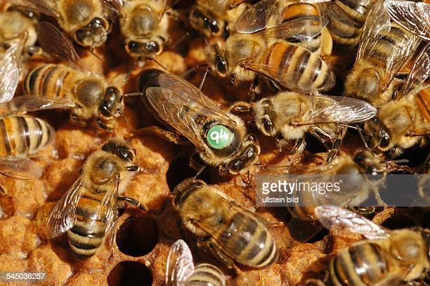 Carniolan honey bee marked queen bee