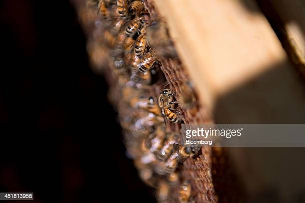 Carniolan honey bees climb on the frame of a hive owned by Bureau County Honey Co near Hennepin Illinois US on Thursday July 3 2014 Bees pollinate...