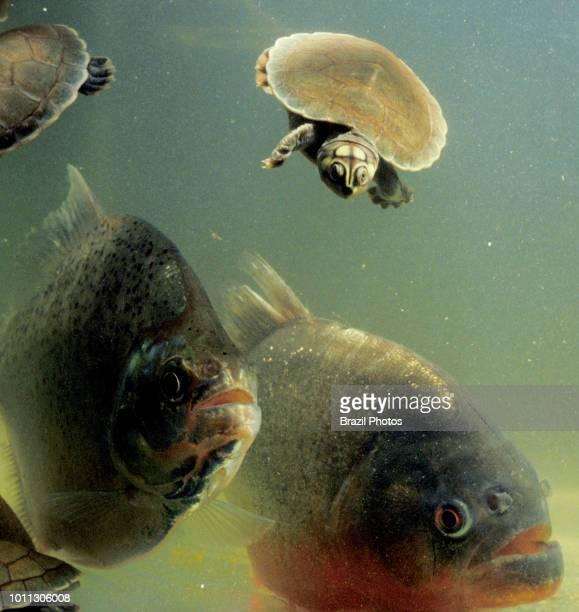 Carnivore piranhas attack baby river turtles Amazon river basin Roraima State north Brazil