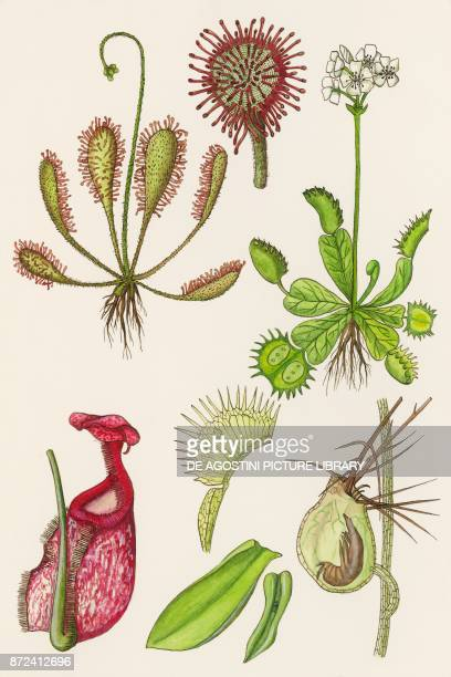 Carnivorous plants drawing
