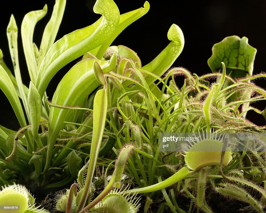 carnivorous plants : Stock Photo