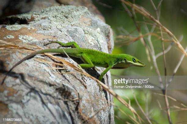 carolina anole - anole lizard stock pictures, royalty-free photos & images