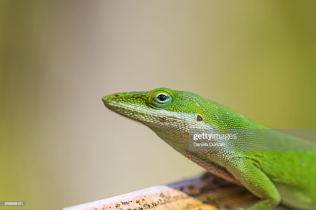Carolina Anole : Stock Photo