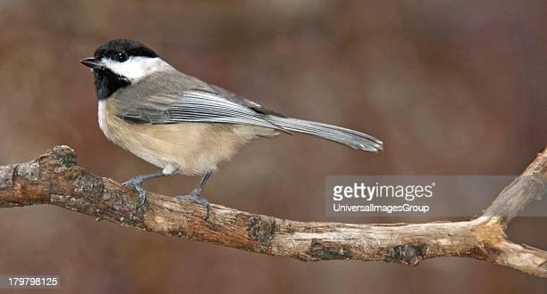 Carolina Chickadee on Tree Limb