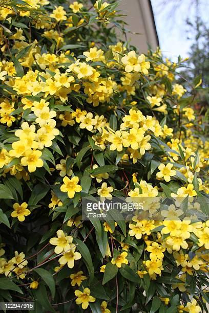 Jasmine vine stock photos and pictures getty images carolina jasmine yellow flowers mightylinksfo Choice Image