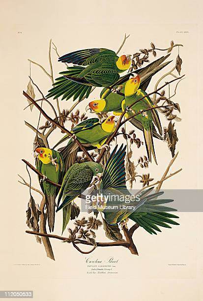 Carolina Parrot Plate 26 from John James Audubon's Birds of America late 1830s