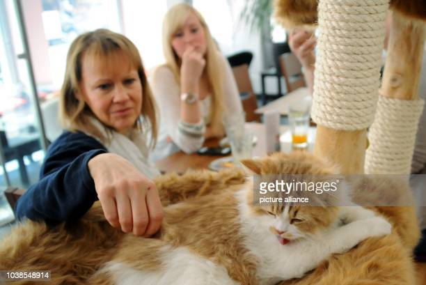 Caroline Schmidt pets a cat in Cafe Katzentempel stands with a cat in his arms in his cafe in MunichGermany 07June 2013 Guests can cuddle with cat...