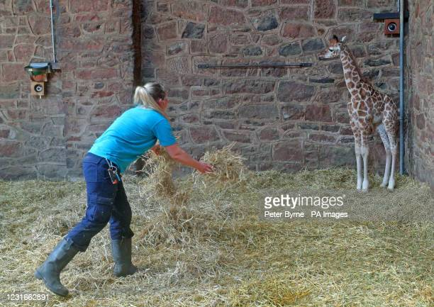 Caroline Wright a keeper at the zoo puts clean straw in the pen of a 9 day-old highly endangered Rothschild's Giraffe which was born at Chester Zoo...