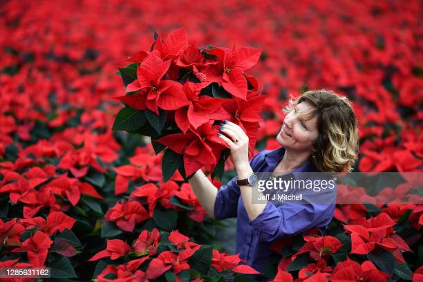 Carolyn Spray holds one of her many Poinsettia plants ready to be dispatched for the Christmas season at the Pentland Plants garden centre on...