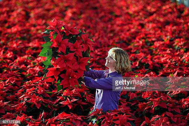 Carolyn Spray holds up one of her many Poinsettia plants ready to be dispatched for the Christmas season at the Pentland Plants garden centre on...