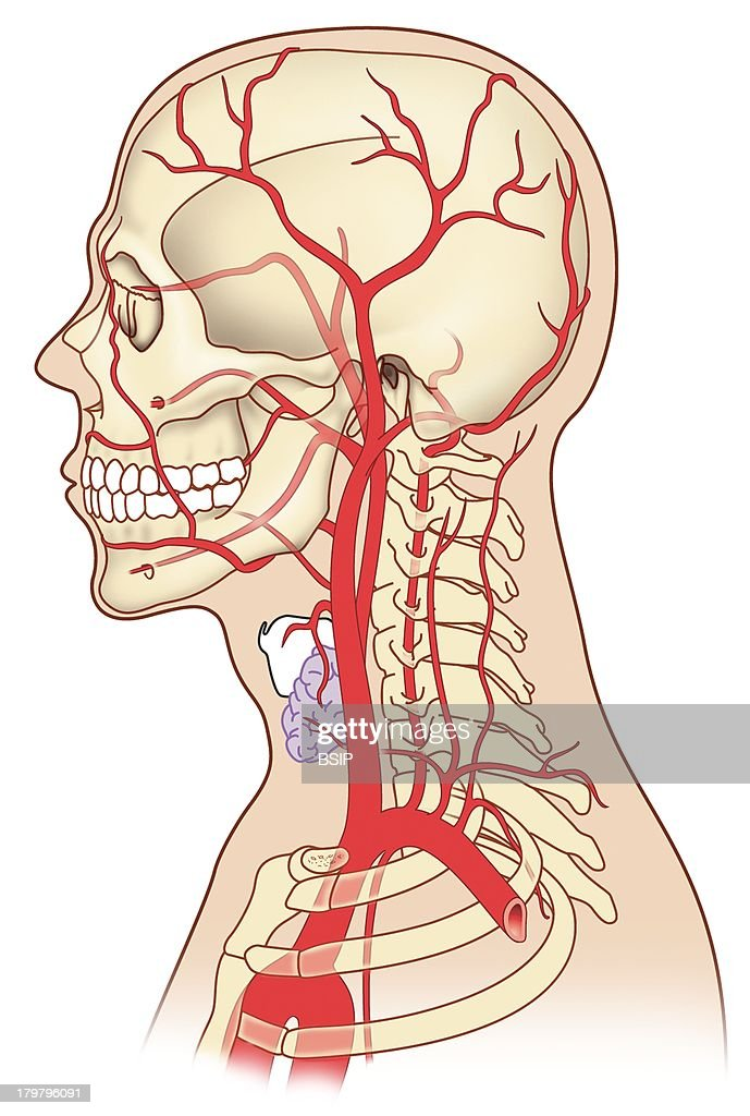 Carotid, Illustration Pictures | Getty Images