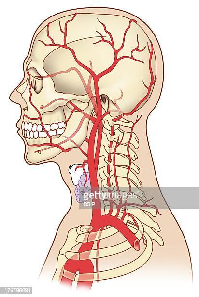 Internal Carotid Artery Stock Photos And Pictures Getty Images