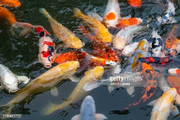 Carp are seen in Japan as a symbol of fortune These ponds used as an element of a landscape pond garden Classic koi ponds have nishikigoi Japanese...
