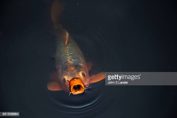 Carp are seen in Japan as well as in the rest of Asia as a symbol of fortune These ponds used as an element of a landscape pond garden Classic koi...