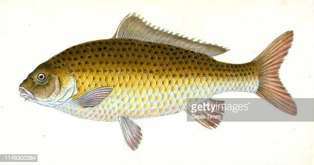 Carp Cyprinus Carpio British fishes Donovan E 17681837