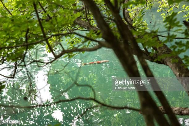 A carp in Goshiki-numa, Fukushima, Japan