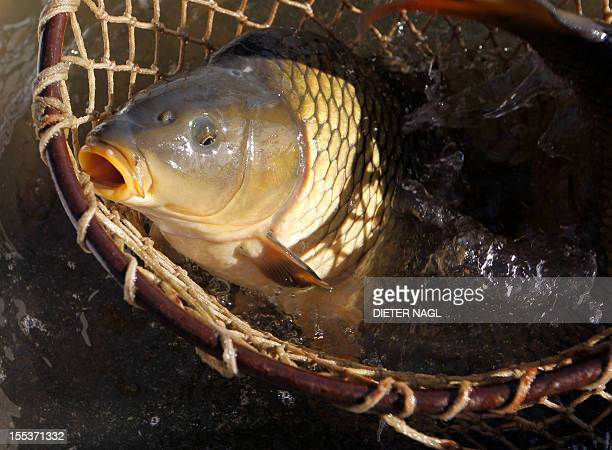 A carp is scooped out of the water in a fishing basket during the traditional fish dry of the carp ponds on November 03 2012 in Jetzles northern...