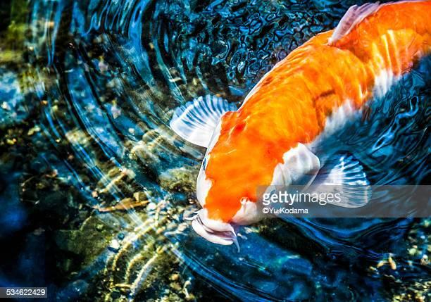 carp nishikigoi - koi carp photos et images de collection