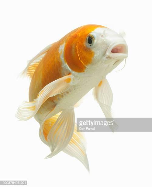 carp (cyprinus carpio) - carp stock photos and pictures