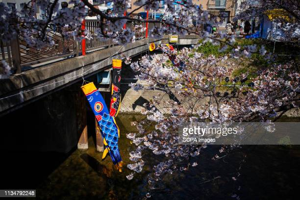A carp streamer seen during the Iwakura Cherry Blossom Festival The highlight of the festival is long line of trees created by around 1400 cherry...