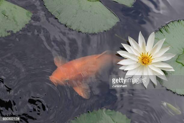 carp & water lily - koi carp photos et images de collection