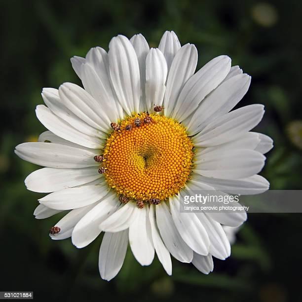 Carpet Beetles on a Daisy