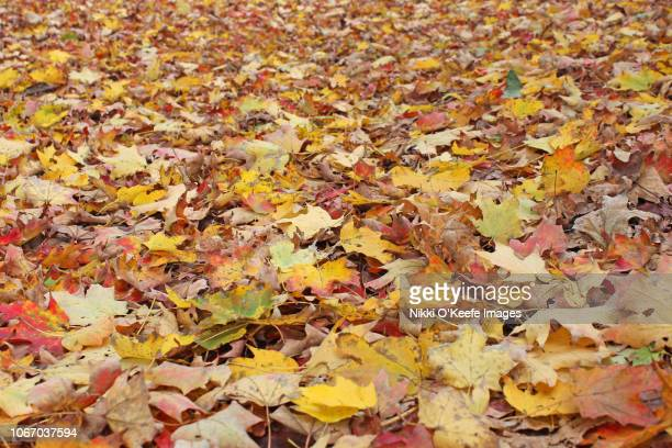 a carpet of autumn leaves - wellesley massachusetts stock pictures, royalty-free photos & images