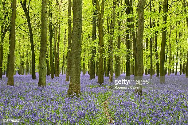 carpet of bluebells and tall beech trees in spring - bluebell wood stock pictures, royalty-free photos & images