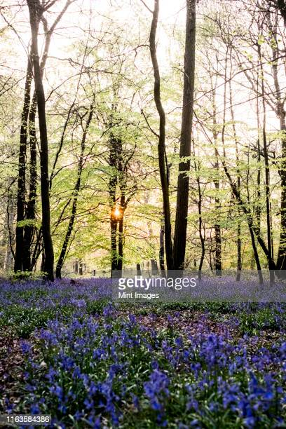 carpet of bluebells in a forest in spring. - oxfordshire stock pictures, royalty-free photos & images