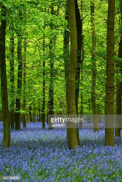 Carpet of bluebells in a forest