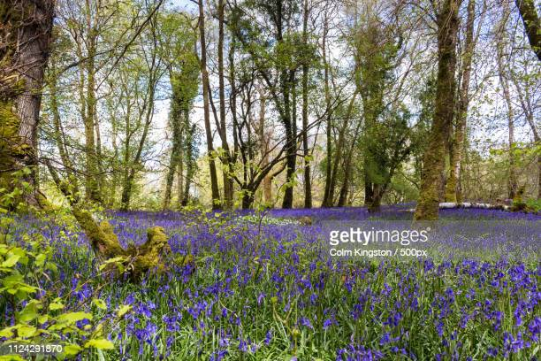 carpet of bluebells in killarney national park - forest floor stock photos and pictures