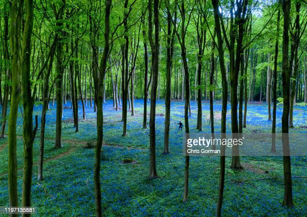 A carpet of Bluebells shot by drone in Micheldever Woods on May 03 2019 near Winchester United Kingdom The Spring wildflower is now at its peak in...