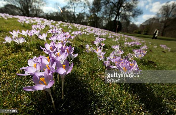 Carpet of crocuses are in full bloom in the Royal Botanic Gardens at Kew on March 15, 2010 in London, England. The unusually cold winter in the UK...