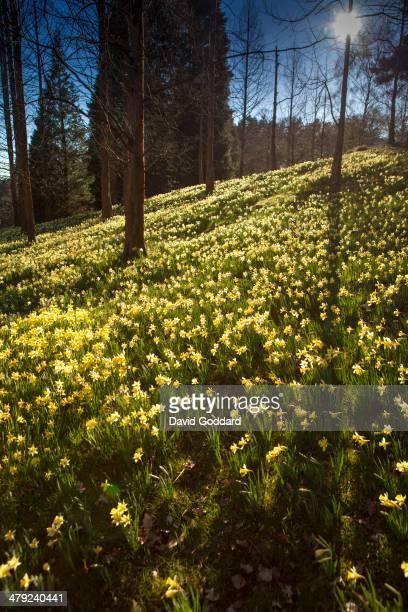 A carpet of daffodils adorn the woods of Breakheart Hill in the Spring sunshine of Virginia Water twenty Miles south west of London on March 15 2014...