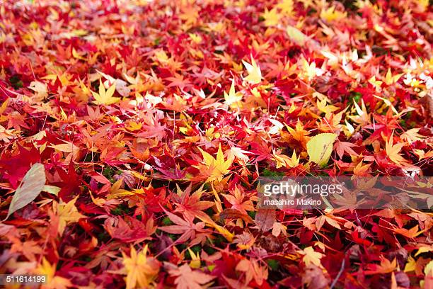 Carpet of Fallen Japanese Maple Leaves